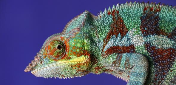 A chameleon with bright colours